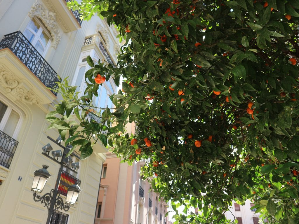 Sinaasappelboom Valencia